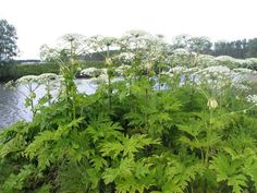 Giant Hogweed is spreading across Canada