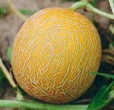 Дыня Казачка 244 - среднеспелый сорт. Период созревания от всходов до сбора урожая 70-95 дней. Растение длинноплетистое, среднего размера. Плод округлый или овальный, средней величины. Масса 1,2-1,8 кг. Поверхность плода ярко-желтого цвета, без рисунка, с элементами сетки. Кора твердая, среднепрочная. Мякоть белая, средней толщины, волокнистая, слабохрустящая, плотная, сочная, сладкая.