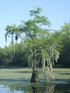 Swamp Trees | Swamp Tree