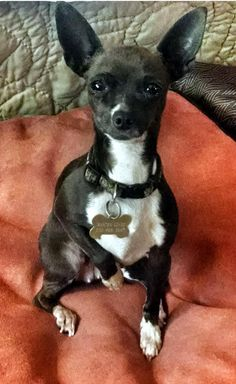 Meet CHICA, a Petfinder adoptable Chihuahua Dog | Wooster, OH | Meet our little Chica.  She is a tiny 6 pound, chocolate Chi about 4 years old.Star-Mar Rescue...
