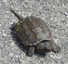Snapping Turtle: It makes me weird, but I think them perfect. Cute, in a dinosaur sort of way.