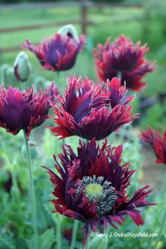 Just look at that lovely fringe on Papaver 'Drama Queen' [Nancy J. Ondra/Hayefield.com]