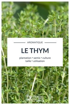Le thym : cultiver, planter, tailler Everything you need to know about growing thyme Potager Bio, Potager Garden, Garden Pests, Balcony Garden, Garden Planters, Herb Garden, Vegetable Garden, Paris Balcony, Gardening For Beginners