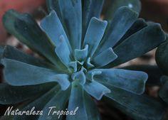 Echeveria runyonii con sus hojas plegadas