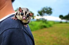 The Sweet And Adorable Sugar Gliders Of Australia