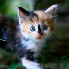 cute calico kitten pic