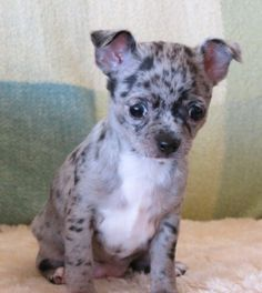 Smiley x Will - Black merle female Chihuahua puppy