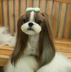 -Repinned- Shih Tzu - Wish I could have Bella look like this! Beautiful Grooming....
