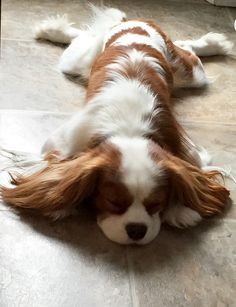 Oh my gosh this is next level floofage 🐶 King Charles Spaniel, Cavalier King Spaniel, Cavalier King Charles Dog, Cute Puppies, Cute Dogs, Dogs And Puppies, Doggies, Roi Charles, Spaniel Puppies