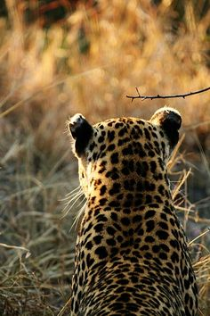 Leopard looking out