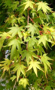 Osakazuki Japanese Maple - Barcham Trees  Some features from my loved one from…