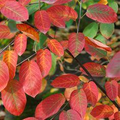Serviceberry - Amelanchier x grandiflora 'Princess Diana' - Lizer Landscape Plant Database