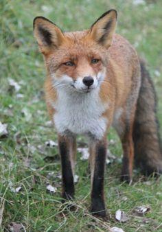Fox at zandvoort