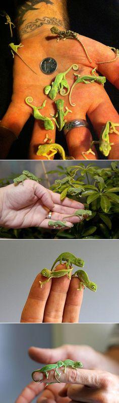 Newborn chameleons...