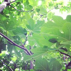 "@thequeenskickshaw's photo: ""A promising fig tree"""
