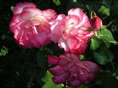 Nicole rose (first rose bush I bought)