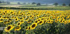 the glowing yellow stripe sunflower field in burgenland austria
