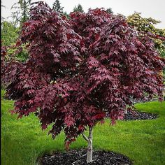 Purple Ghost Japanese Maple (Small Plant) - 1 Gallon / Potted
