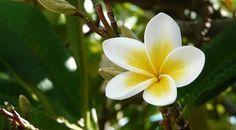 Gambar Bunga Kamboja Beserta Bagiannya 85 Best Aneka Bunga Images In 2016 Flowers Beautiful Flowers Botany Manfaat Bunga Kamb Bunga Menggambar Bunga Gambar