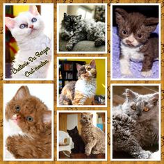 Chats moutons de la Chatterie Du Berger Selkirk Rex, T Rex, Animals, Cute Kitty, Cats, Cattery, Animales, Animaux, Animal
