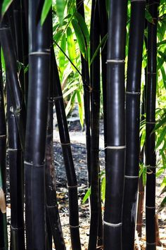 50 Timor Black Bamboo Seeds Privacy Plant Garden Clumping Exotic Shade Screen Container Hardy Deck F Phyllostachys Nigra, Bamboo Seeds, Bamboo Plants, Bamboo Tree, Bamboo For Sale, Cerca Natural, Bamboo Species, Clumping Bamboo, Growing Bamboo