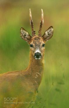 Roe deer portrait by rene-visser #animals #pets #fadighanemmd