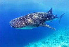 South Africa is home to the largest fish in the world, the Whale Shark.