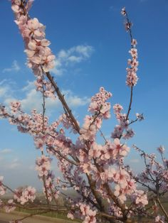 Mandelblüten in Gimmeldingen 2014