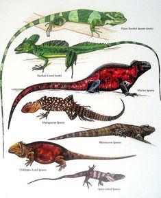 Fijian Banded Iguana, Basilisk Lizard, Marine Iguana, Rhinoceros Iguana Vintage 1984 Reptiles Book Plate