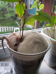 Rat in pot plant