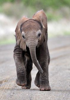 Baby Elephant running in road towards his mommy in the Kruger Park Baby Elephant Images, Baby Elephant Drawing, Cute Baby Elephant, Elephants Photos, Save The Elephants, Baby Elephants, Cute Little Animals, Baby Animals, Funny Animals