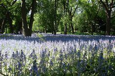 Bluebell Wood by Brooklyn Botanic Garden, via Flickr