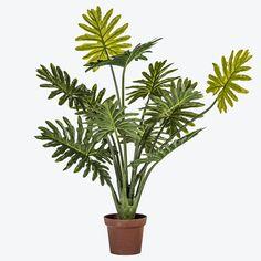 Philodendron plante