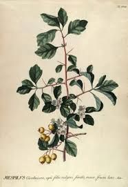Image result for botanical illustration W Curtis