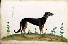 Animal - Dog - Doberman -  Italian