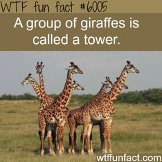 A group of giraffes - WTF fun facts