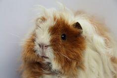 liene - Guinea pig