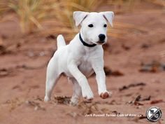 The Jack Russell Terrier Choice picture gallery contains hundreds of pictures selected by our staff as the best of the best Cute Puppies, Dogs And Puppies, Terrier Puppies, Baby Animals, Cute Animals, Pet Dogs, Pets, Doggies, Jack Russell Puppies