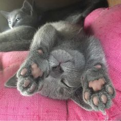 "4,213 Likes, 23 Comments - 😻 Gatos & Cats 😻 (@gato_cats) on Instagram: ""👉👉😻 Follow @gato_cats 😻👈👈 👉😻 Photo by: @yoshi.and.kawa 😻 #cat #cats #catstagram #ilovecats…"""