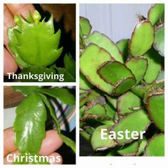 Difference in holiday cactus'