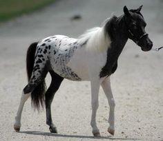 unusual horse foals | Pinto appaloosa cross - pintaloosa horse