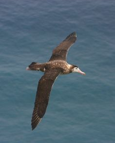 The Amsterdam albatross is a broad-winged seabird that breeds nowhere but Amsterdam Island in the southern Indian Ocean. It relies on just a...