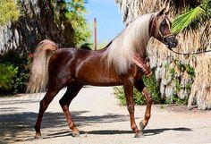 KA Damascus (2008 Straight Egyptian liver chestnut stallion) Makhnificent KA {Makhsous x Star Bint Hafiza by Ibn Dahman} x Rahimah KA {RA Jahim x KA Sultan Raqwa by Raquin RA}