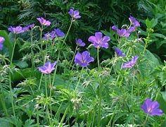 Geranium Collinum-Hybride 'Nimbus' Höhe   50 cm - 90 cm Zu Hemerocallis sieht 'Nimbus' sicherlich sehr schön aus!