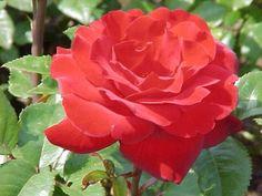 Single full bloom rose - I love you; I still love you