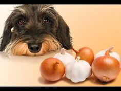 Alimentos Prohibidos para Perros: Mitos y Verdades => https://youtu.be/TXYFBwyilFE