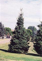 38 Best Arborvitae Trees Images On Pinterest Arborvitae