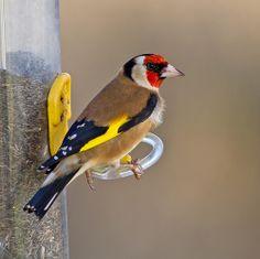 Goldfinch   Flickr -