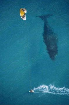 Simplemente espectacular!!! Kite surfer speeding past huge whale just below the surface.