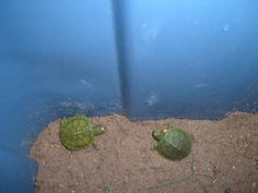 The Itsy Bitsy Turtles By Jackson Hughes
